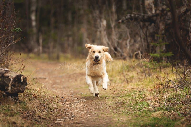 疯狂,逗人喜爱和愉快的狗养殖跑在森林里的金毛猎犬并且获得乐趣在日落 免版税库存图片