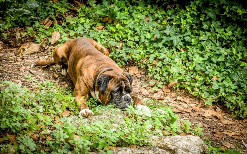 疲乏的德国拳击手狗 图库摄影