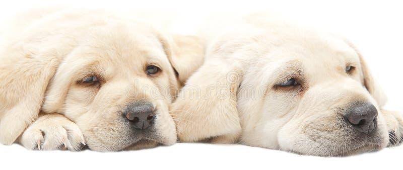 疲乏的拉布拉多小狗 库存图片