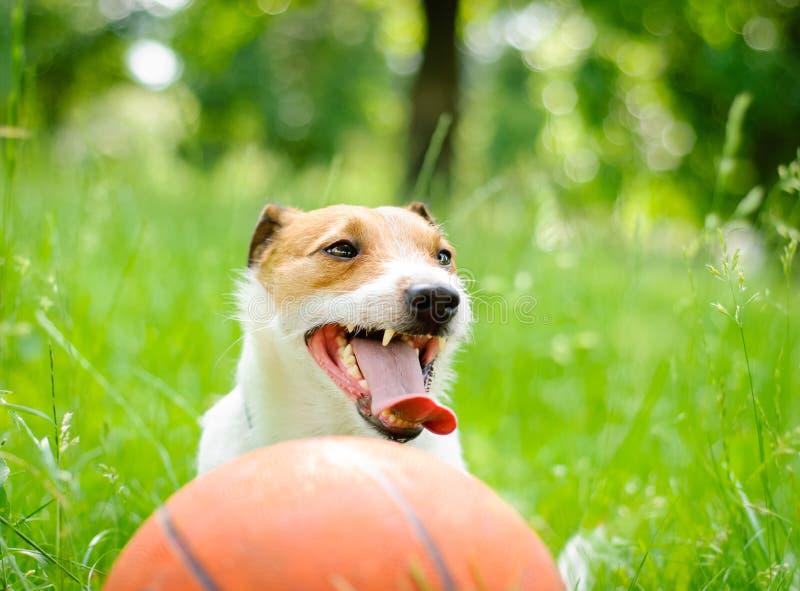 疲乏的杰克罗素狗狗夏天画象与篮球球的 免版税库存图片