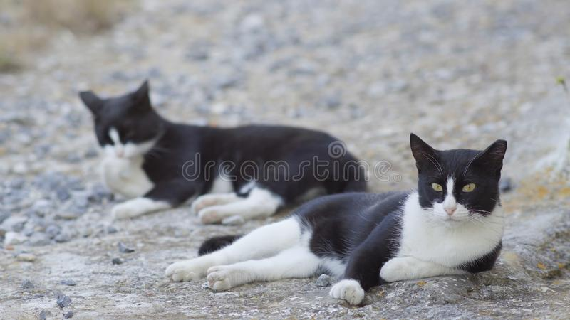 疲乏的黑白离群猫 免版税库存照片