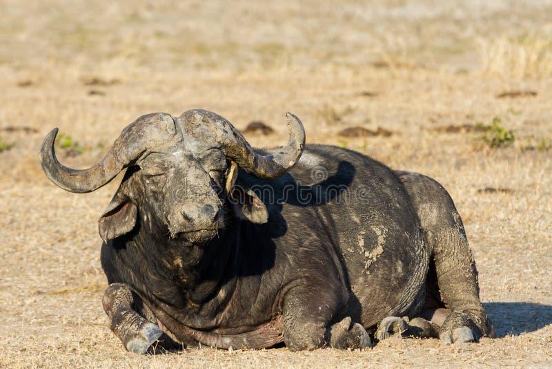 疲乏的Cape Buffalo公牛辗压在变冷静的水池 库存图片