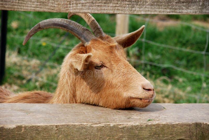 疲倦的山羊 库存图片