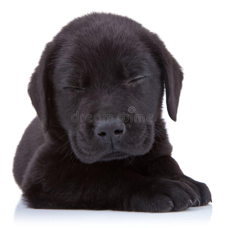 疲倦的黑色拉布拉多 免版税库存照片