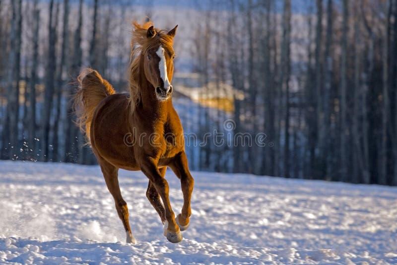 疾驰在多雪的草甸的阿拉伯栗子公马,跑往照相机, 免版税图库摄影