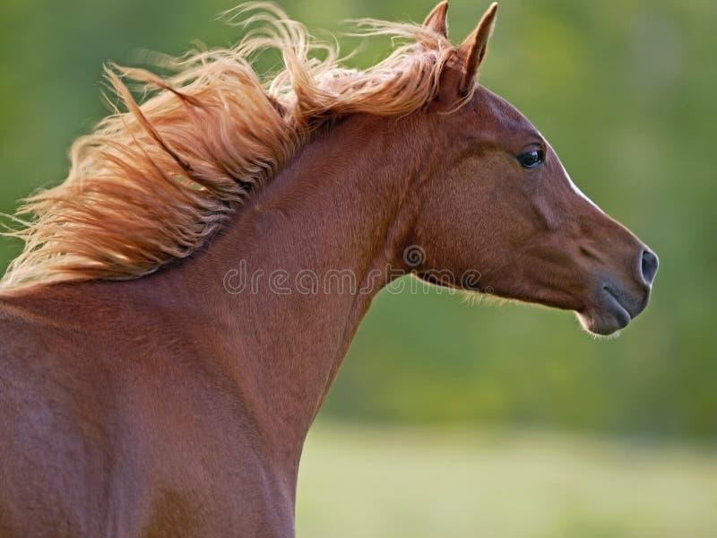 疾驰在有飞行鬃毛的,头接近草甸的栗子马 图库摄影