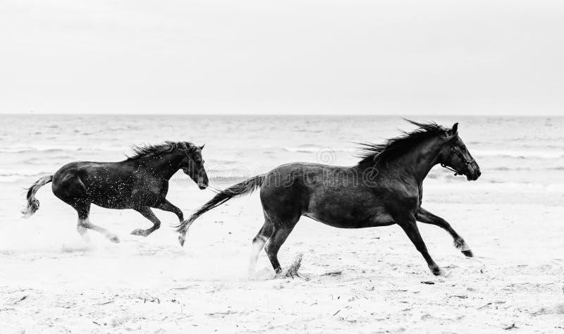 疾驰在海滨的两匹棕色马 库存图片