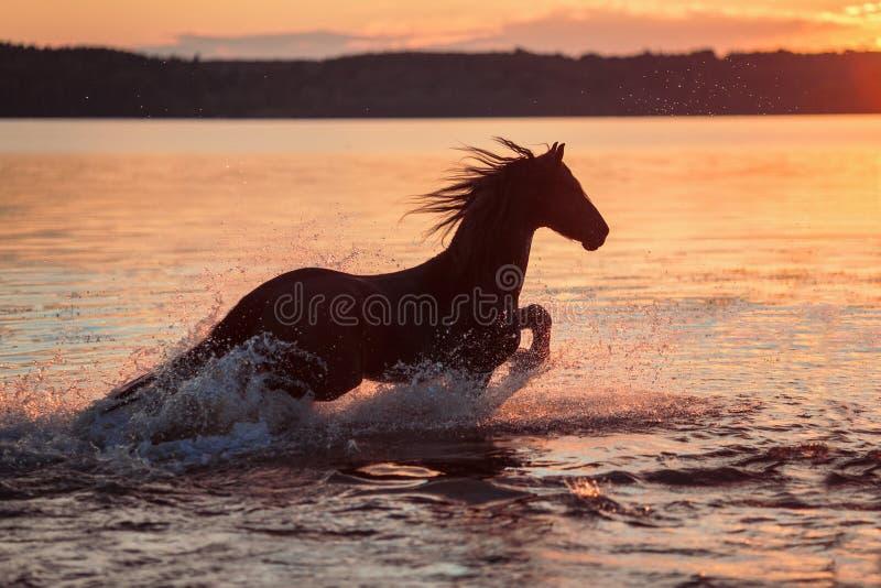 疾驰在水中的黑马在日落 库存图片