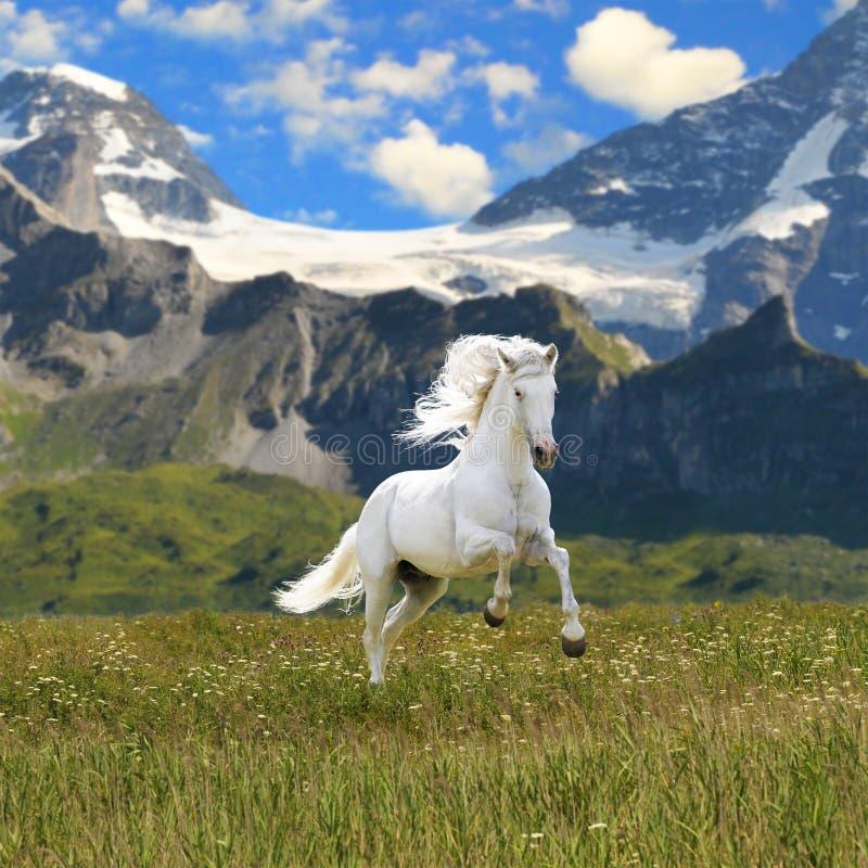 疾驰马运行的白色 免版税库存图片