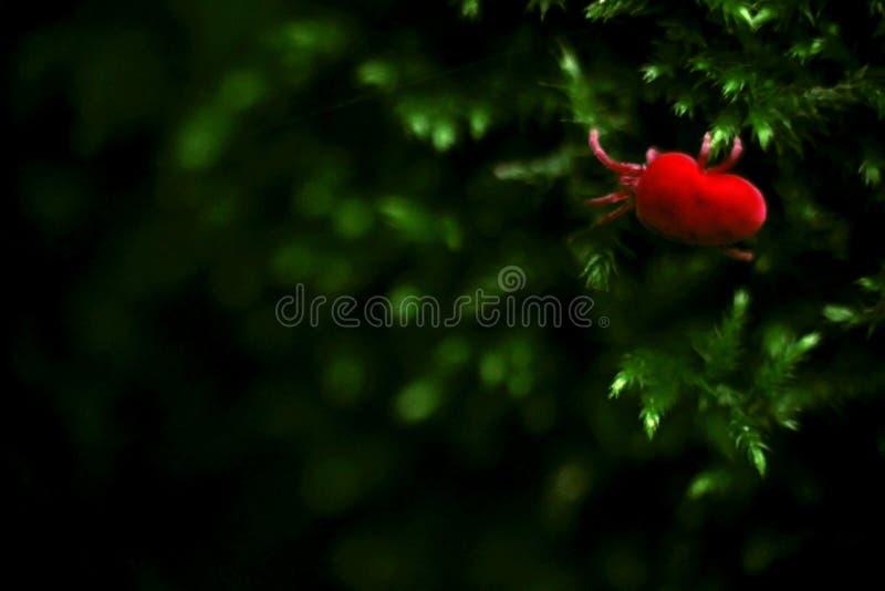 病毒红色小蜘蛛昆虫在绿色青苔自然宏指令Photogra爬行 免版税库存照片
