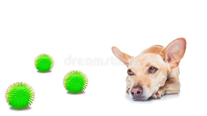 病犬病,冠状病毒遍布 免版税库存图片