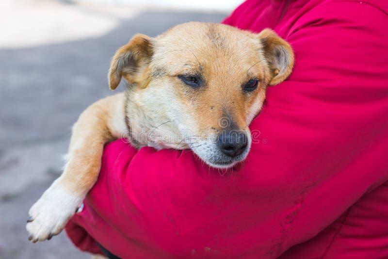 病的狗在妇女的手里 宠物的关心 保护  库存照片