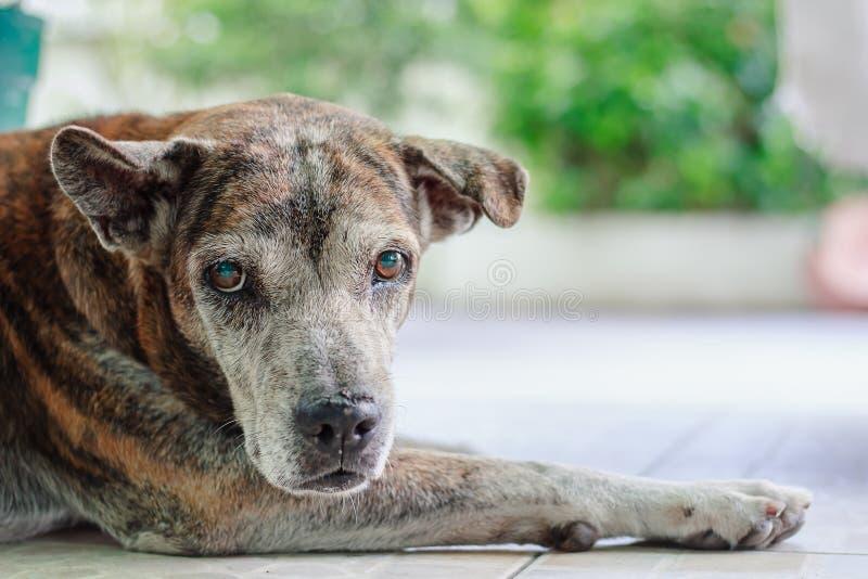 病的狗画象  免版税库存图片