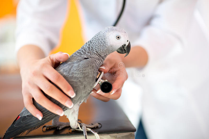 病的鹦鹉的考试与听诊器的在狩医诊所 免版税图库摄影