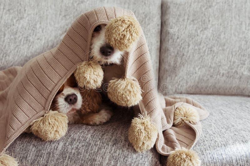 病,嬉戏或者惊吓用在沙发的一条温暖的缨子毯子盖的两条狗 免版税库存照片