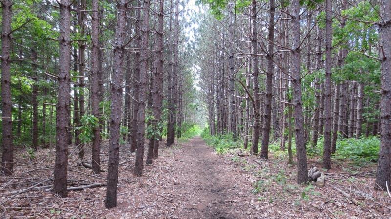 贫瘠杉木森林 库存图片