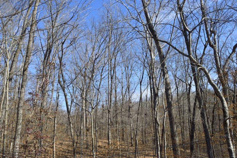 贫瘠树在森林在冬天晒干 免版税库存照片