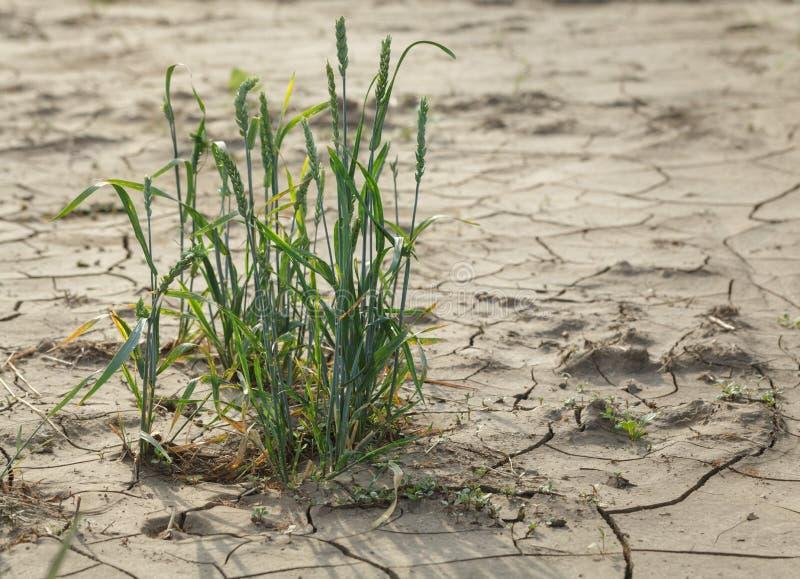 瘠薄贫瘠土壤的逃过的谷物植物 免版税库存照片