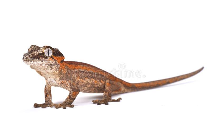 瘤带头的巨型壁虎(Rhacodactylus auriculatus) 图库摄影