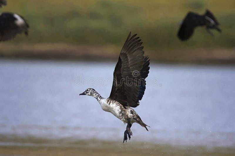 瘤开帐单的鸭子, Sarkidiornis melanotos, Chambal河,拉贾斯坦,印度 免版税库存图片