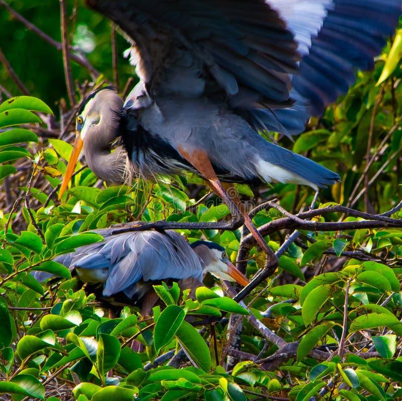 登上他的伙伴的公伟大蓝色的苍鹭的巢 免版税库存照片