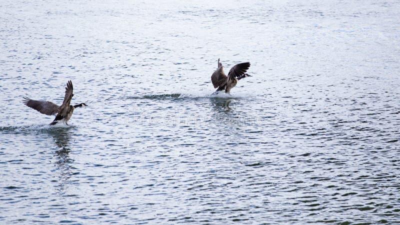 登陆在水的两只鹅 图库摄影