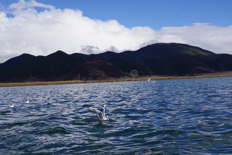 登陆在湖的海鸥 免版税库存图片
