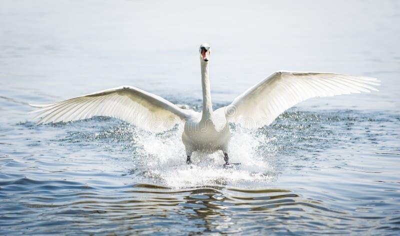 登陆的疣鼻天鹅 免版税库存图片