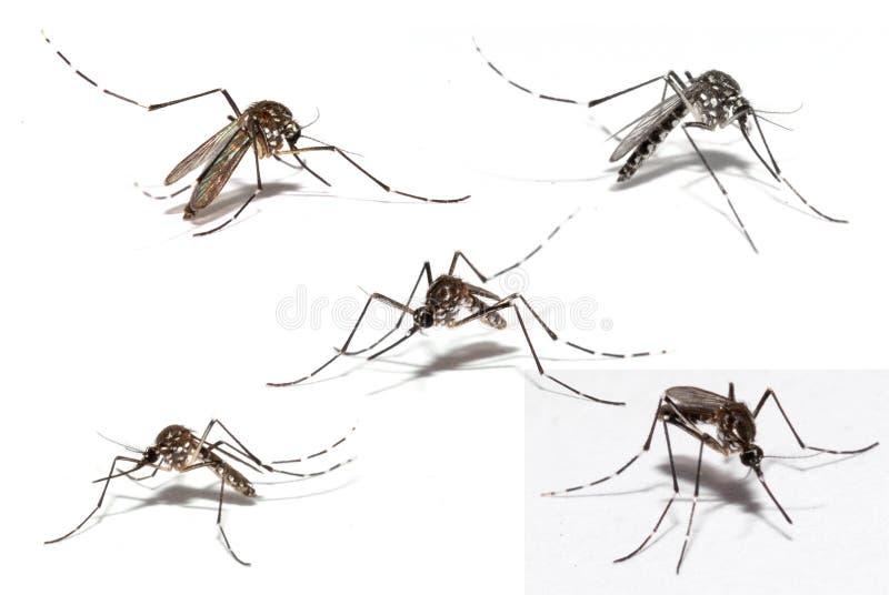 登革热蚊子 免版税库存图片