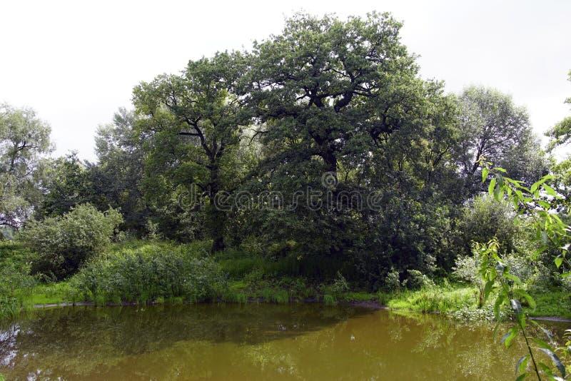 白俄罗斯语风景 橡木在普里皮亚季河的洪泛区 老河床 阴影和明亮的光 免版税库存图片