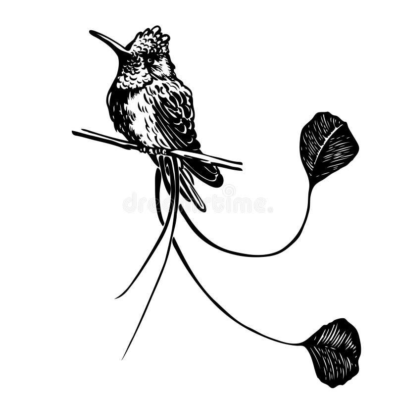 黑白凹道老鹰蜂鸟 库存例证