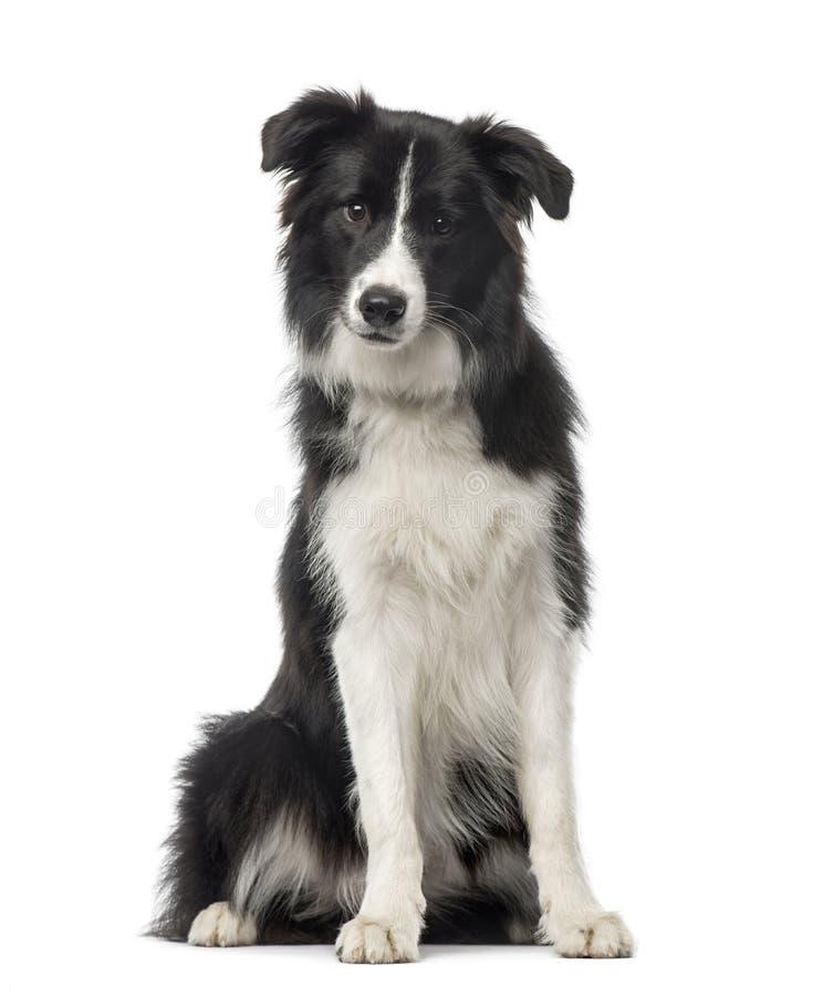 黑白博德牧羊犬开会, 8个月 免版税库存照片