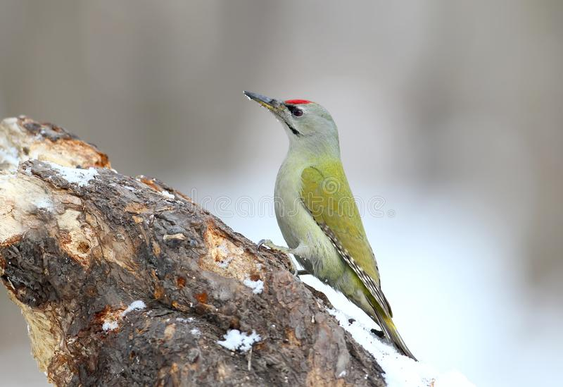 白发啄木鸟男性坐森林饲养者 免版税库存图片