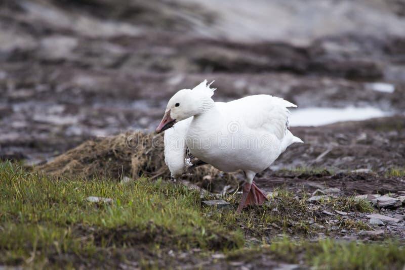 白变体与垂悬从它的额嘴身分的根的雪雁profileWhite变体走与残破的翼和泥的雪雁 免版税库存照片