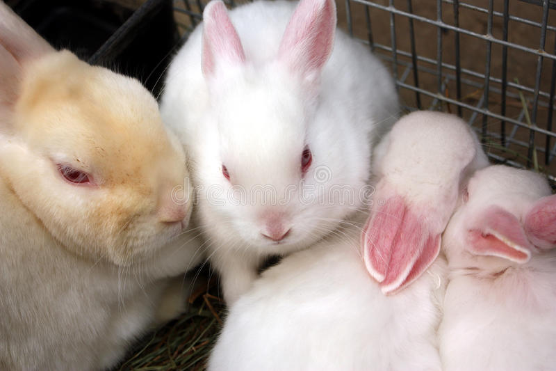 白变种兔子和她的婴孩 免版税库存照片