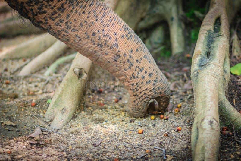 白变种嗅在附近和搜寻在d的食物的大象鼻子 免版税库存照片