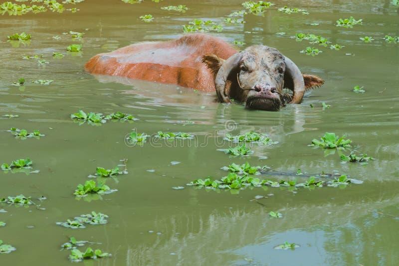 白变种在沼泽的水牛城游泳在泰国水牛城保护村庄 免版税库存图片