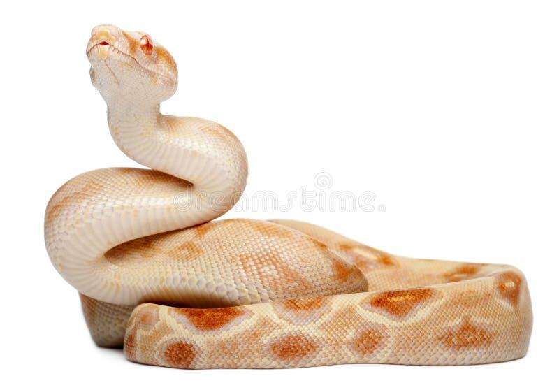 白变种大蟒蛇 库存图片