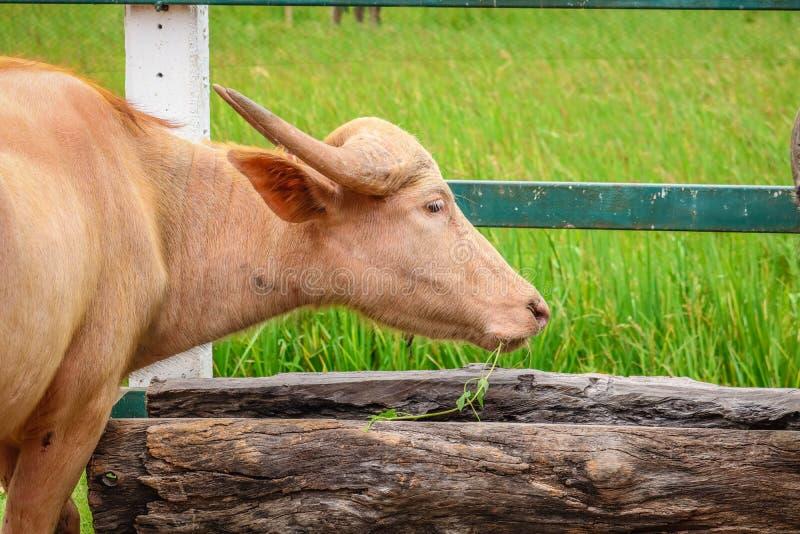 白变种水牛在农场 免版税图库摄影