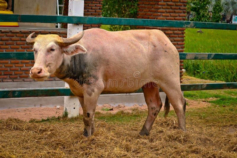 白变种水牛在农场 免版税库存图片