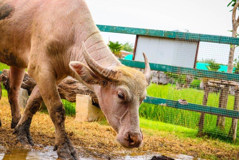 白变种水牛在农场 免版税库存照片