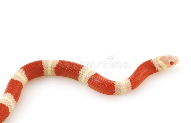 白变种牛奶纳尔逊s蛇 免版税库存图片