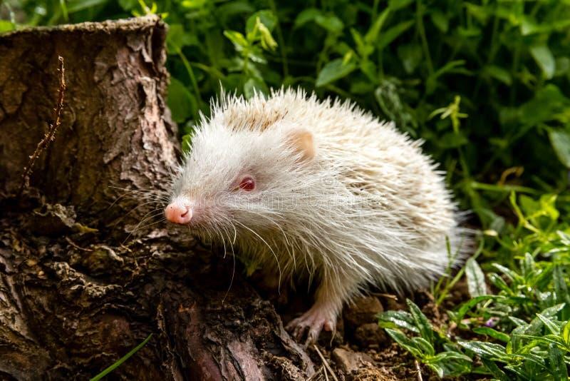 白变种猬,罕见,白色白变种猬在自然生态环境 库存图片