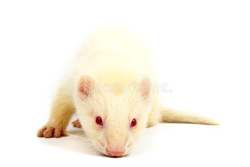 白变种白鼬,说谎在白色背景 免版税库存照片