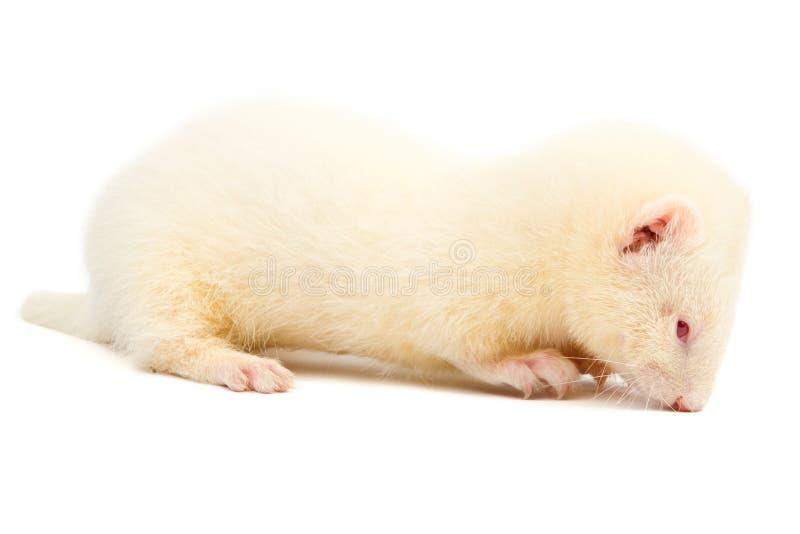 白变种白鼬 免版税库存图片