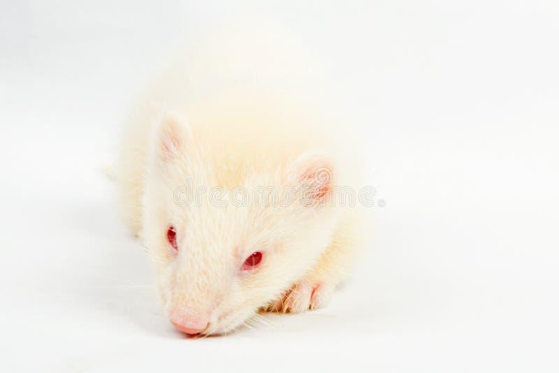 白变种白鼬 库存图片