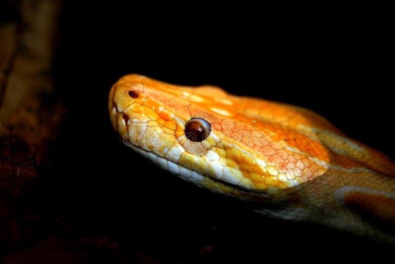 白变种缅甸人Python 免版税库存图片