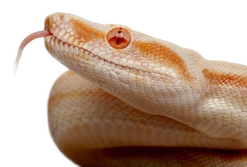 白变种蟒蛇关闭缩窄器 库存照片