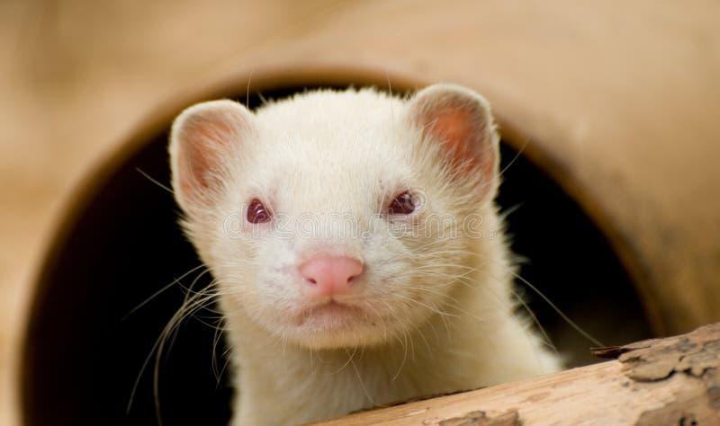 白变种逗人喜爱的白鼬 免版税库存照片