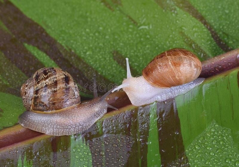白变种锅牛和一只正常被着色的蜗牛,角aspersum,在一片varigated红色香蕉叶子 免版税库存照片
